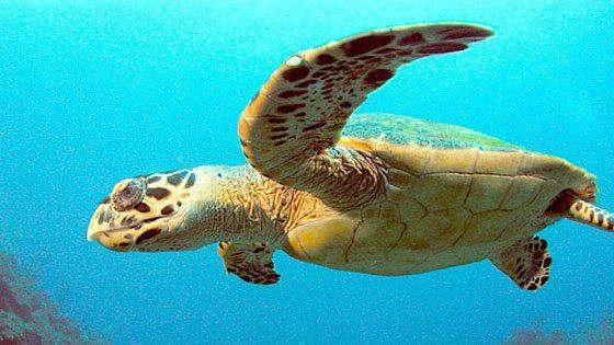 Bild einer Schildkroete bei Unterwassertour auf Saba