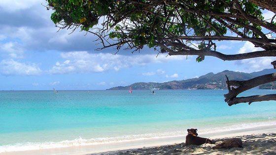 Bild von einem Hund unter einem Baum am Grand Anse Beach auf Grenada