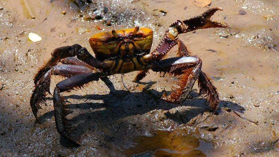 Bild einer Krabbe am Strand von Martinique