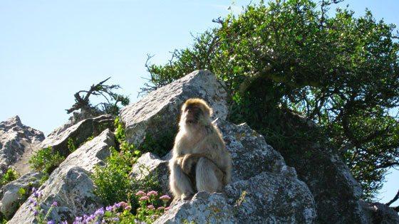 Bild vom Affen am Upper Rock auf Gibraltar